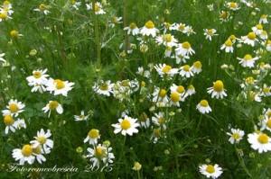 CAMOMILLA - (Matricaria chamomilla L.) - Nome dialettale: